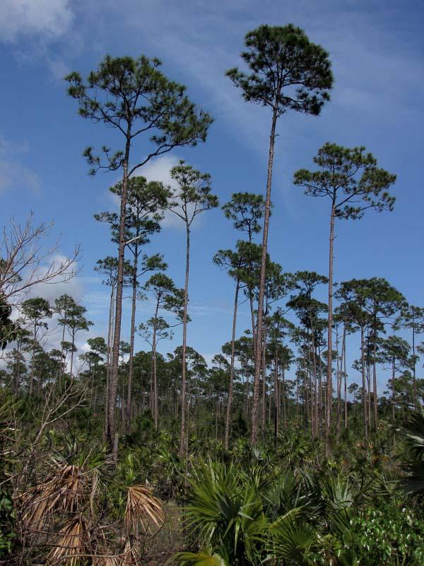 Pinus Caribaea Pino Macho Description The Gymnosperm