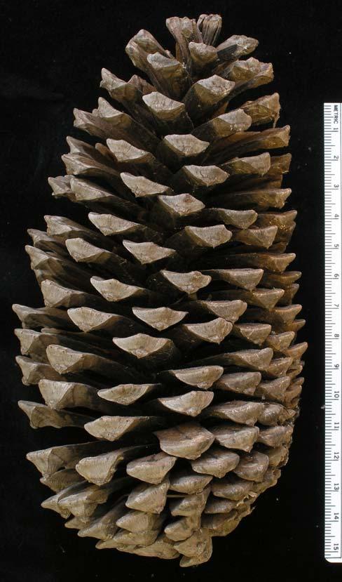 pinus devoniana  pino lacio  description