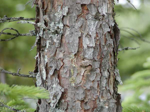 Picea mariana (black spruce) description