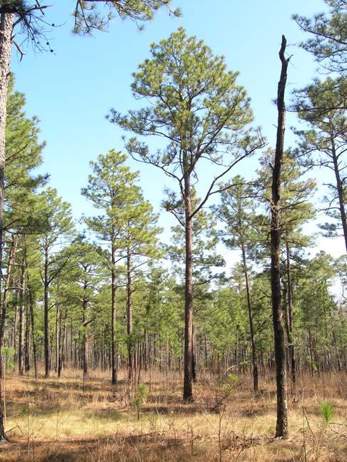 Pinus palustris longleaf pine description the for Mature pine trees