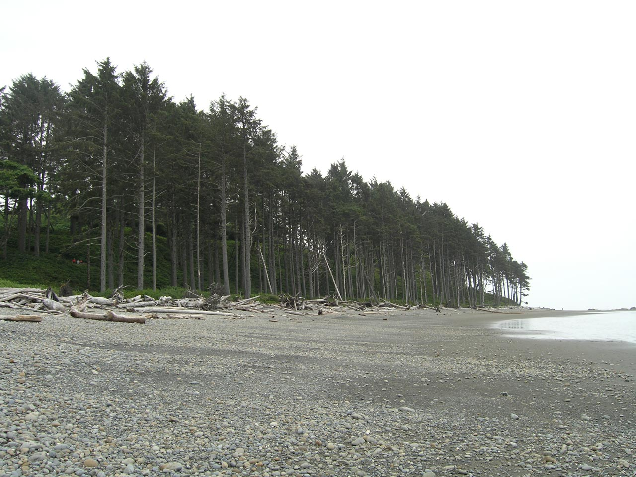 coastal sitka spruce - photo #22