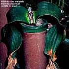 Welwitschia mirabilis in captivity
