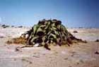 Welwitschia mirabilis in the wild